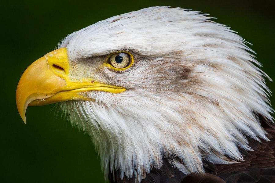 Bald eagle by chris smith on 500px.com