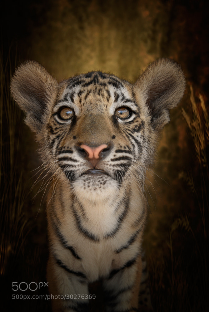 Photograph Tiger Tiger Burning Bright by Cathy Taylor on 500px