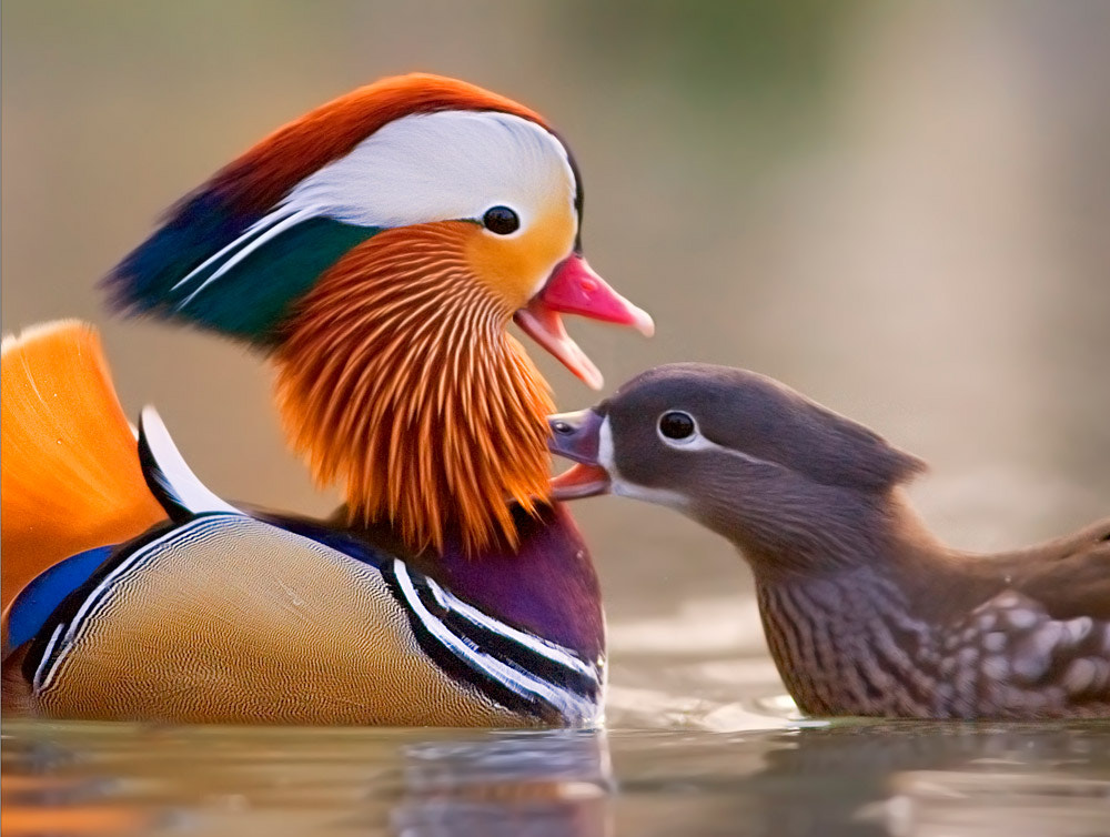 Photograph courtship by Stefano Ronchi on 500px