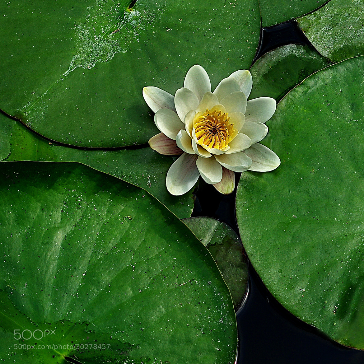 Photograph lotus flower by Bogdan's travel clicks on 500px