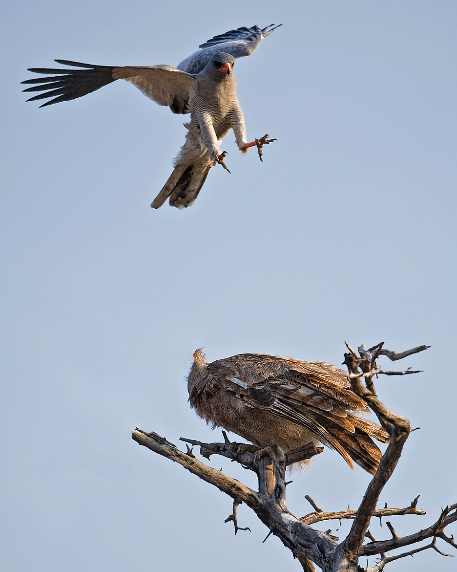 Photograph Goshawk attacking giant eagle owl by Marc MOL on 500px