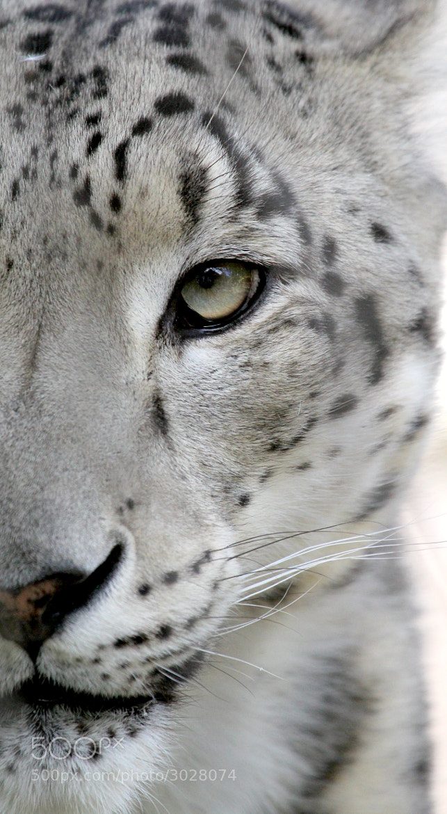 Photograph Snow Leopard  by Parasaran Raman on 500px