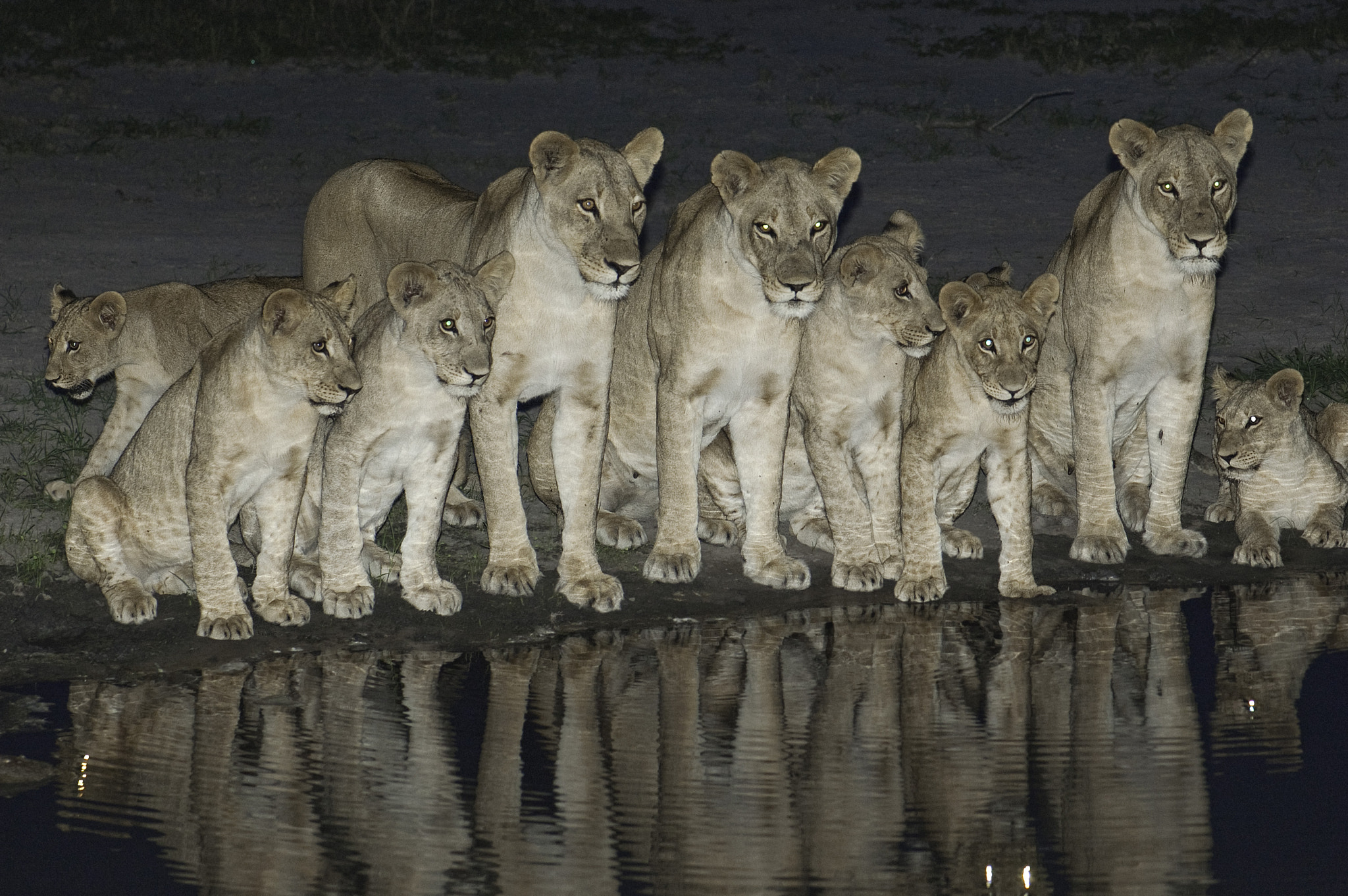 Photograph Lions in a Line by Reto Bühler on 500px
