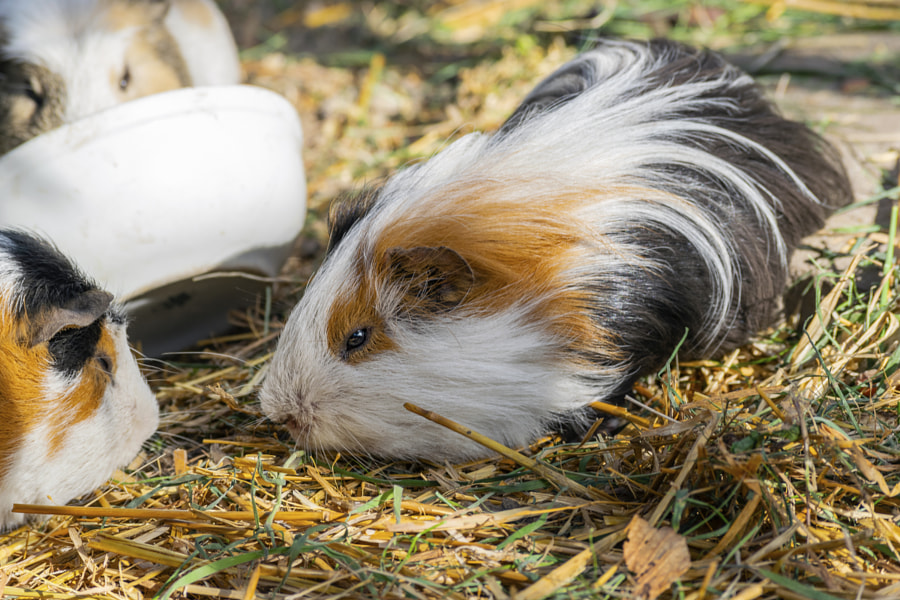 Guinea pig sitting outdoors in summer by Andrzej Plotnikow on 500px.com