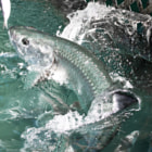 Tarpon After Minnow