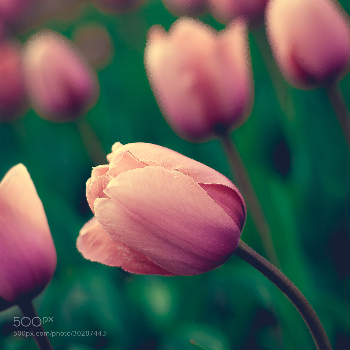 Photograph Tulpen by S. S. on 500px