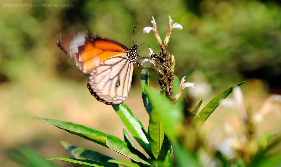 Photograph Monarch butterfly by Nepal I Love on 500px