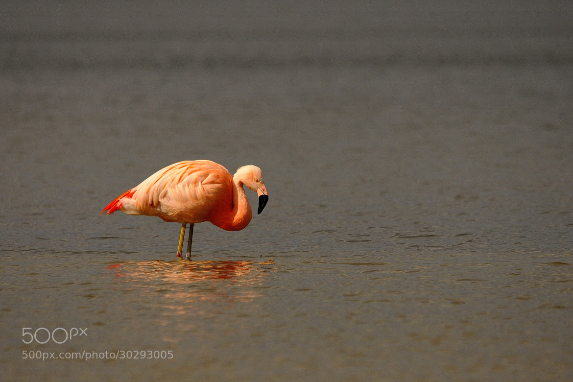 Photograph Flamingo's..  in the Netherlands! by B Timmer on 500px