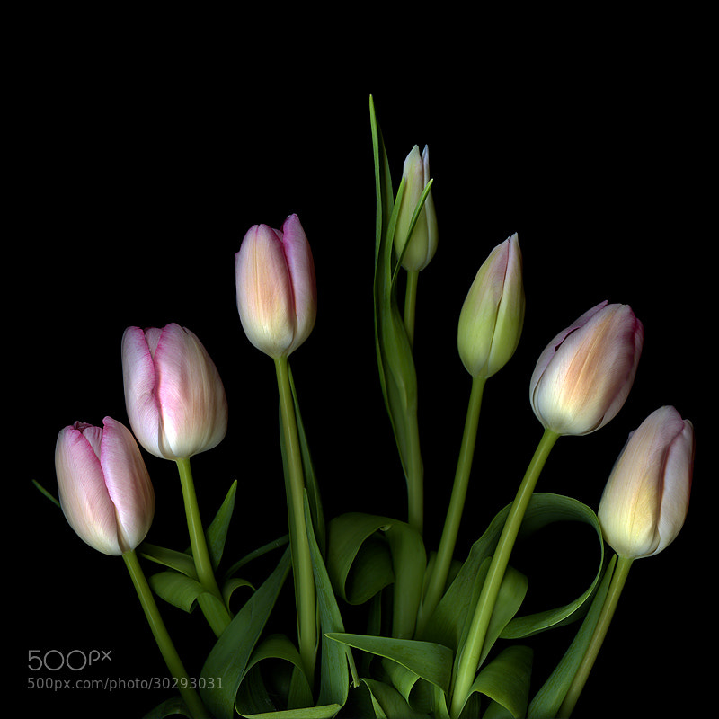 Photograph PINK-FONDANT FANCIES... TULIPS by Magda Indigo on 500px