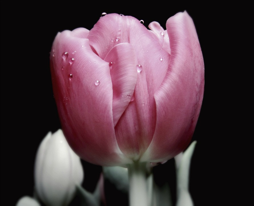 Photograph Tulips by Monika  on 500px
