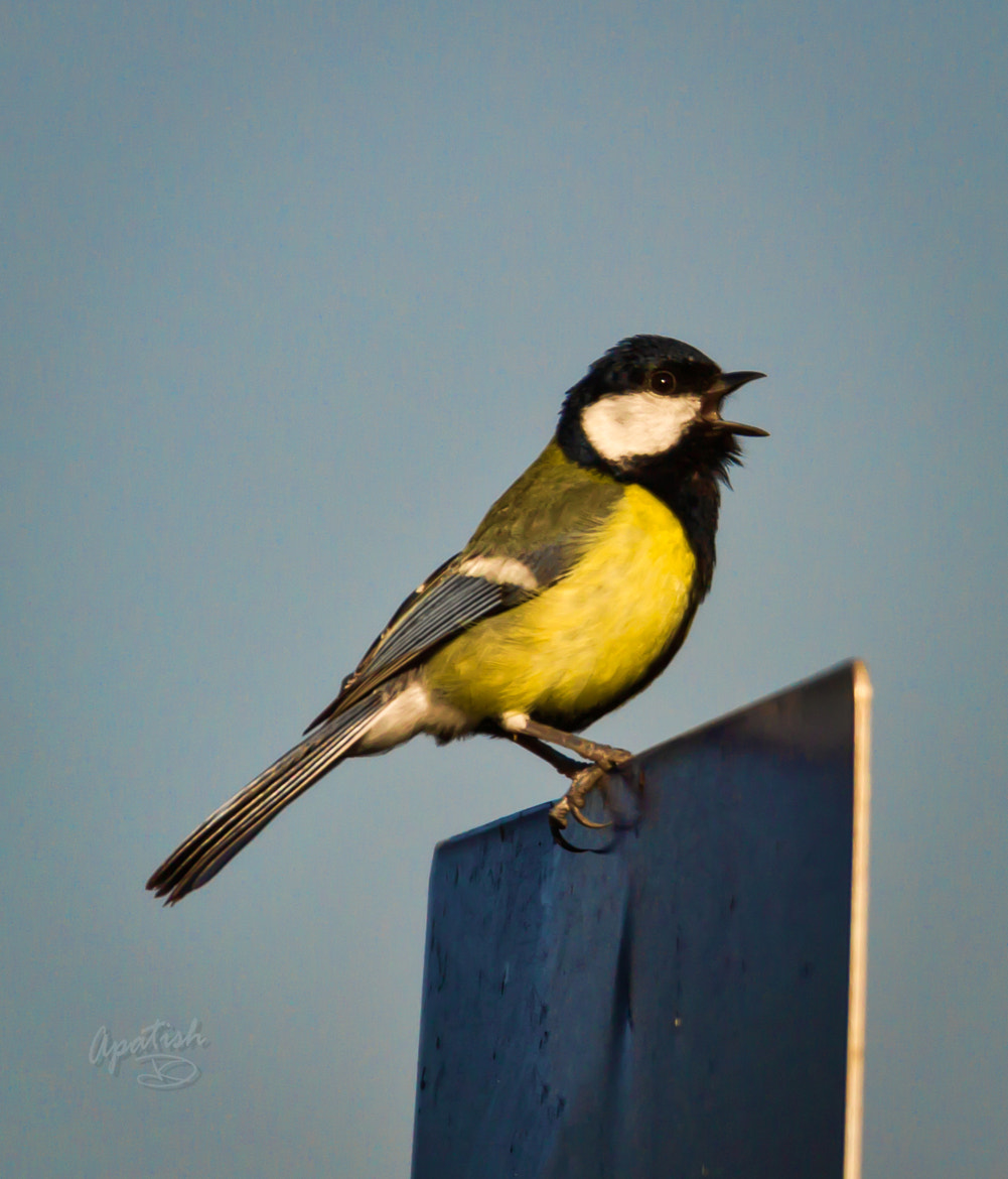Photograph Great tit morning singing by Ariel Patish on 500px