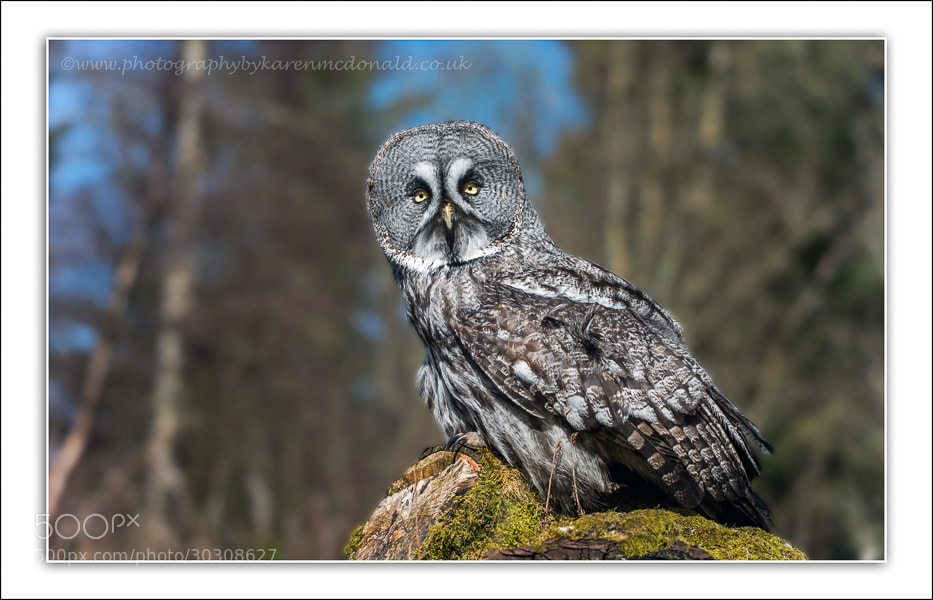 Photograph Great Grey Owl by Karen McDonald on 500px