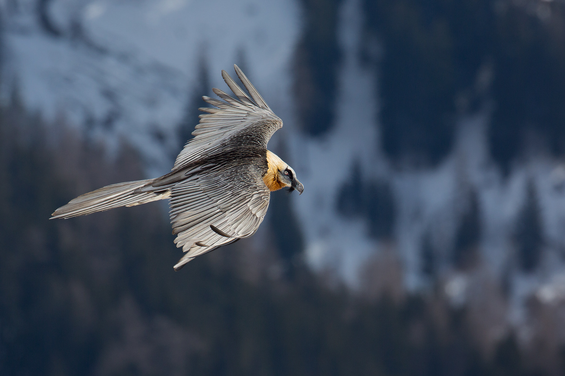 Photograph Bearded Vulture by Daniel Pettersson on 500px