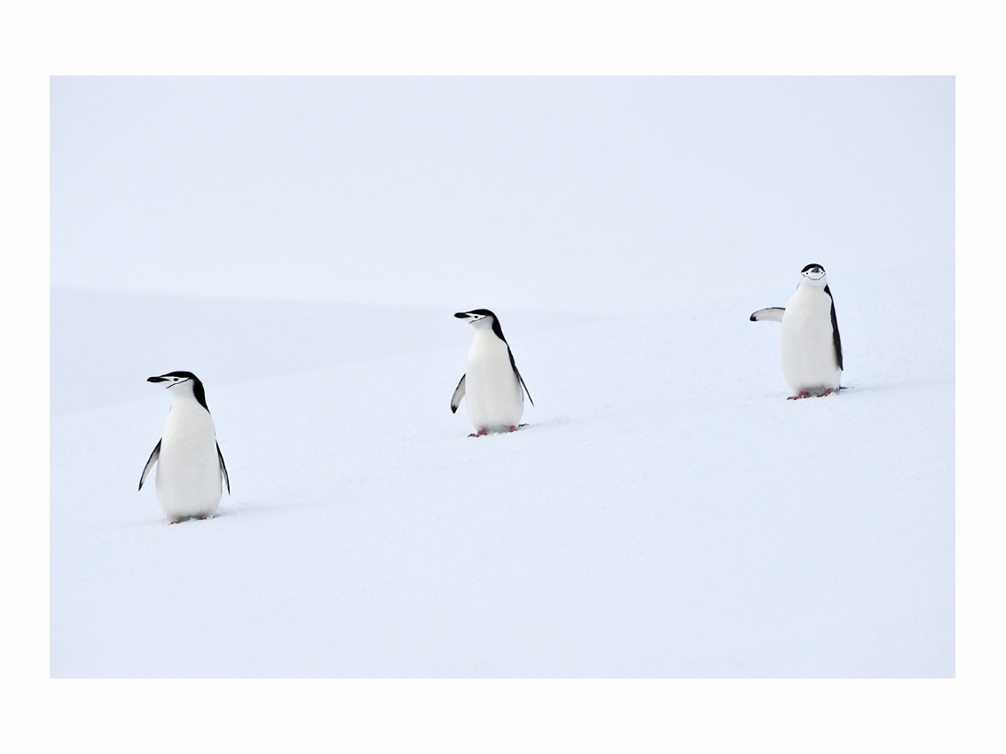 Photograph 3 pinguins - Antarctic Peninsula - www.sanquirce.com by Stéphane San Quirce on 500px