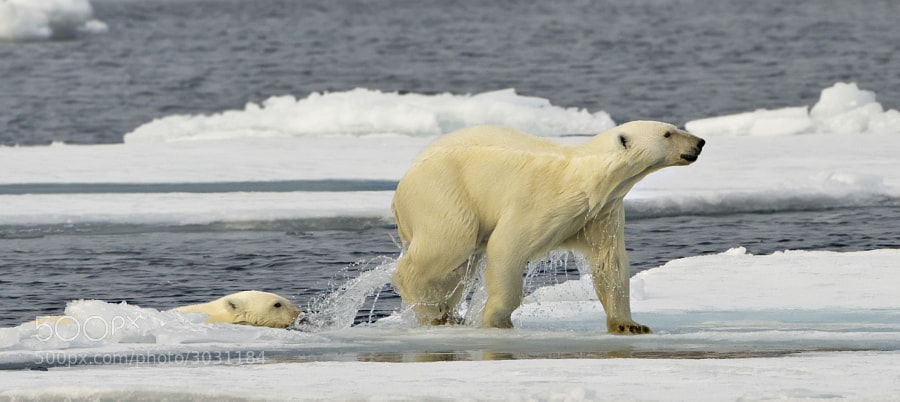 Mum leads her cub onto dry land?