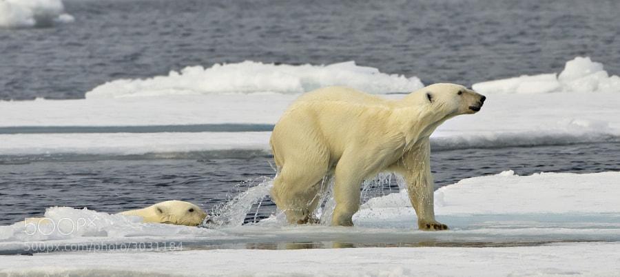 Mum leads her cub onto dry land? Taken in Svalbard, Norway