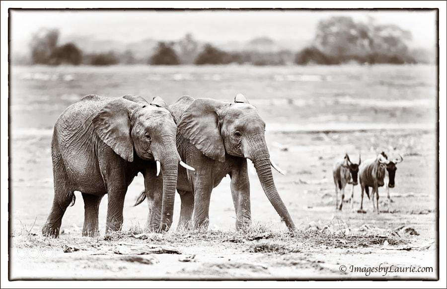 African Elephants and Zebras (Amboseli National Park, Kenya)
