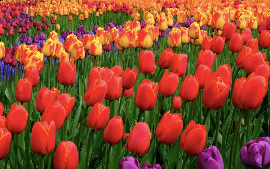Infinite Tulips by Ken Hastings on 500px.com