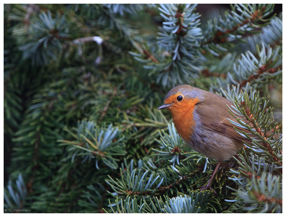Photograph Robin by Tobi K on 500px