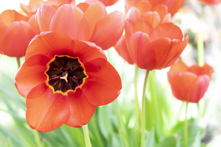 Open-minded Tulip by Ana V. on 500px.com