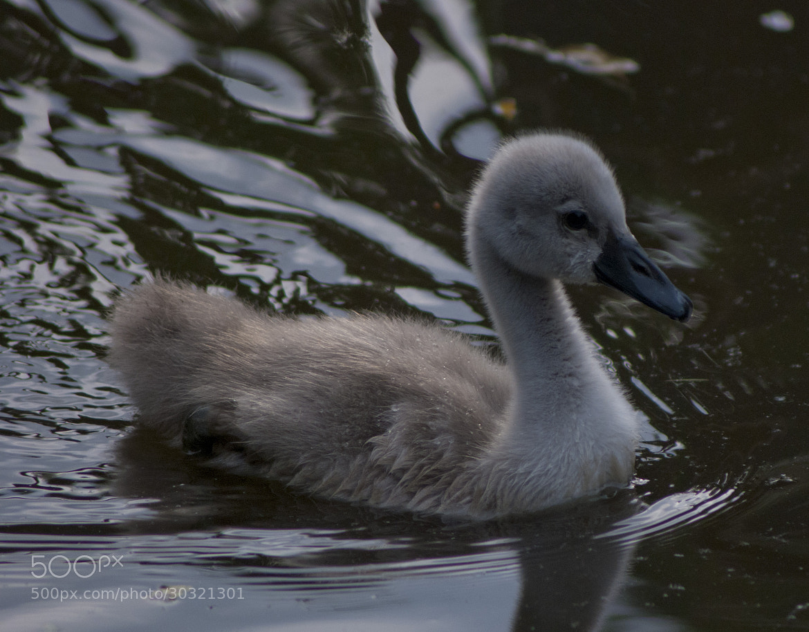 Photograph Little swan by Javier R. R. on 500px