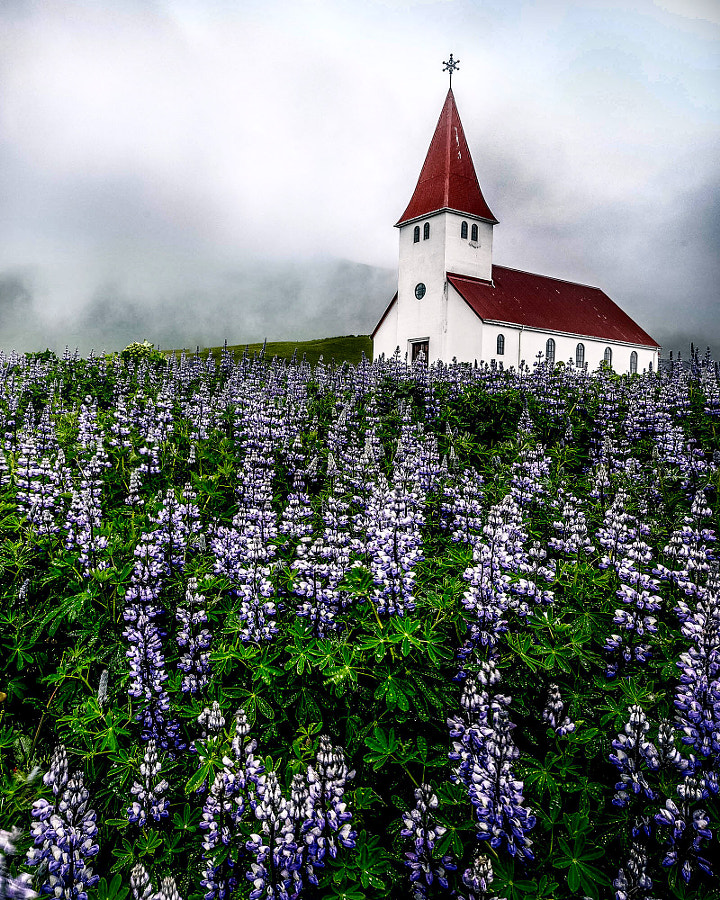 """Lupines of Iceland"" by Kelly Needleman on 500px.com"