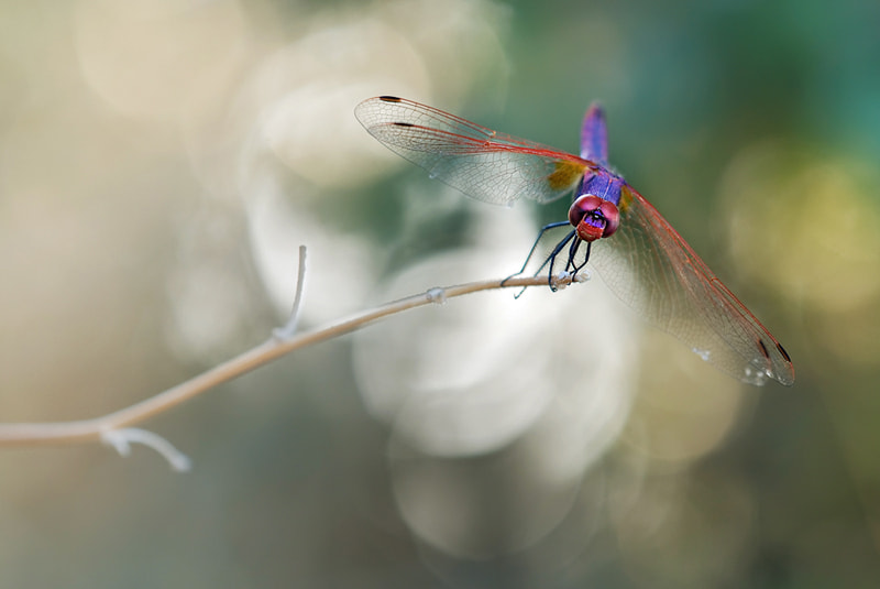Photograph Trithemis annulata by Javier Millán on 500px