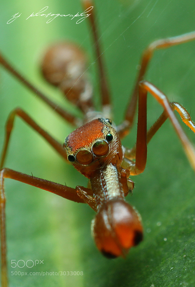 Photograph Ant Mimicking spider by Ting Teck Jong on 500px
