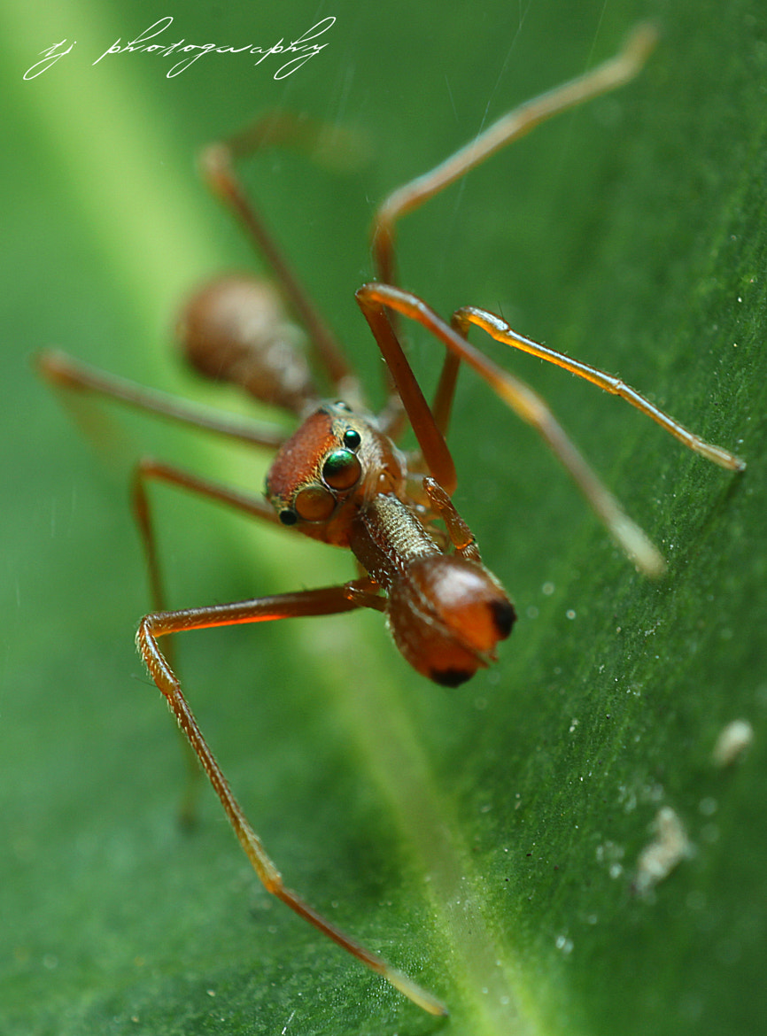 Photograph Ant Mimicking spider 2 by Ting Teck Jong on 500px