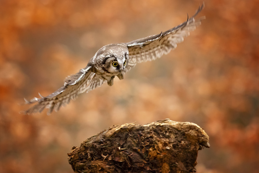 Boreal Owl / Tengmalm's Owl by Milan Zygmunt - a No.1from shop.vanechow.com