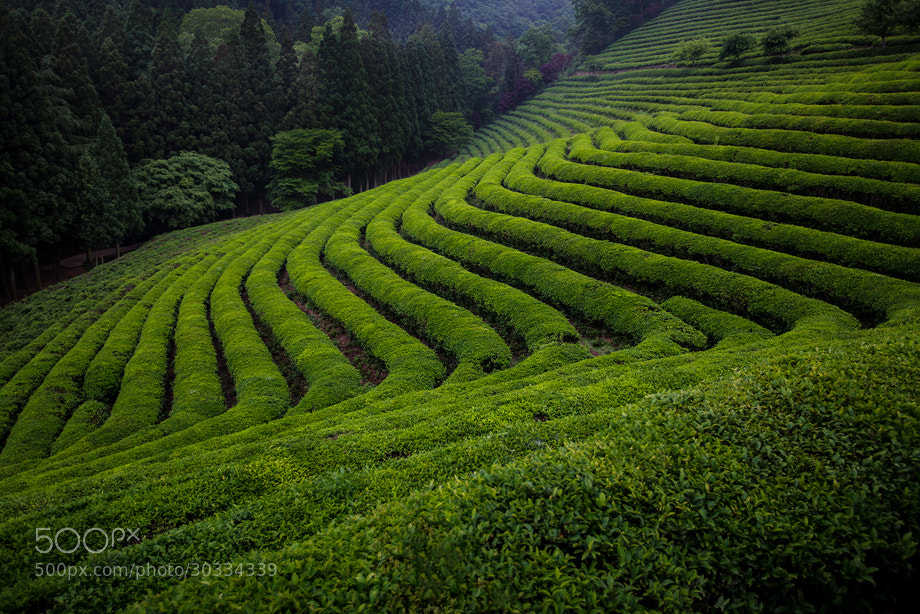 Photograph Green tea fields by Raondasom on 500px