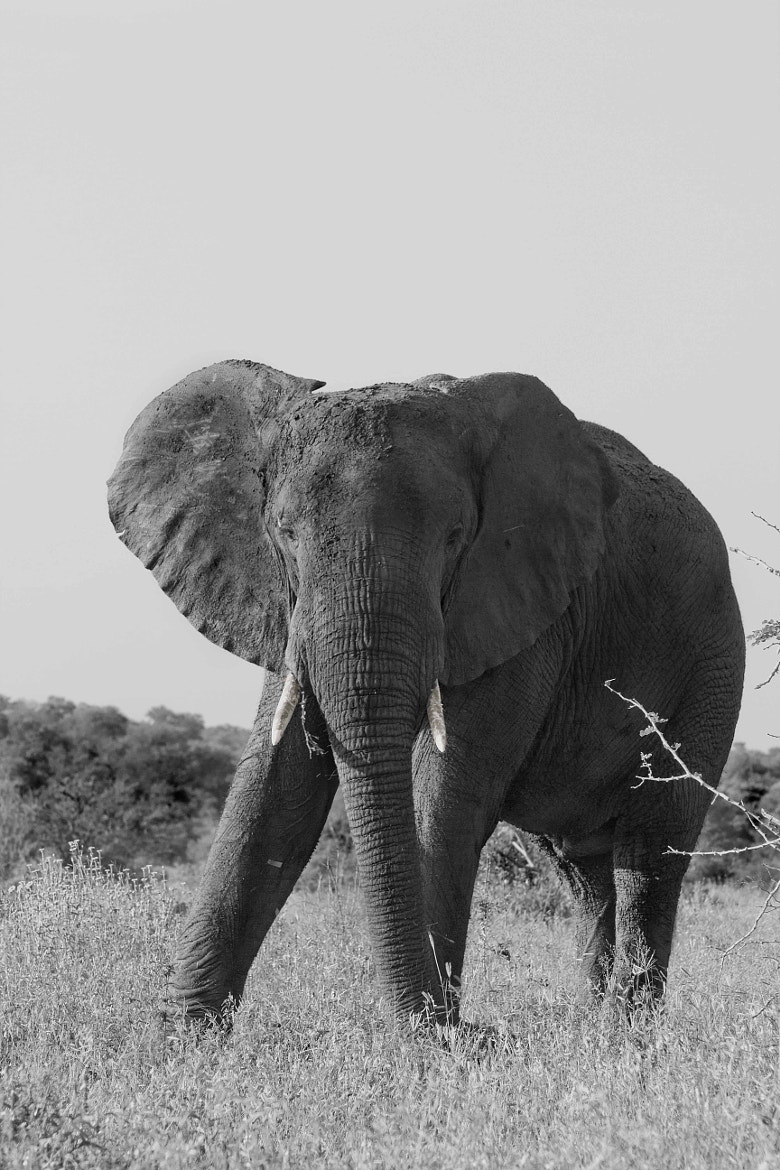 Photograph Elephant by Nelis Nienaber on 500px