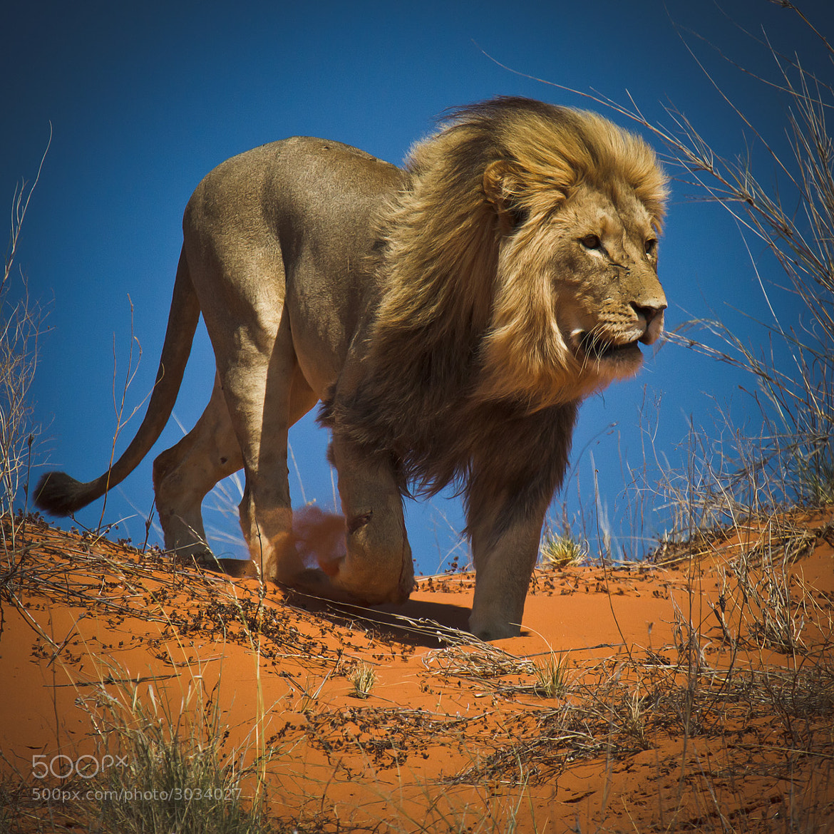 Photograph King of the Kalahari Desert by Ania Tuzel on 500px