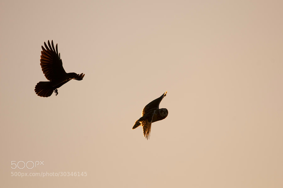Crow chasing a Short eared Owl