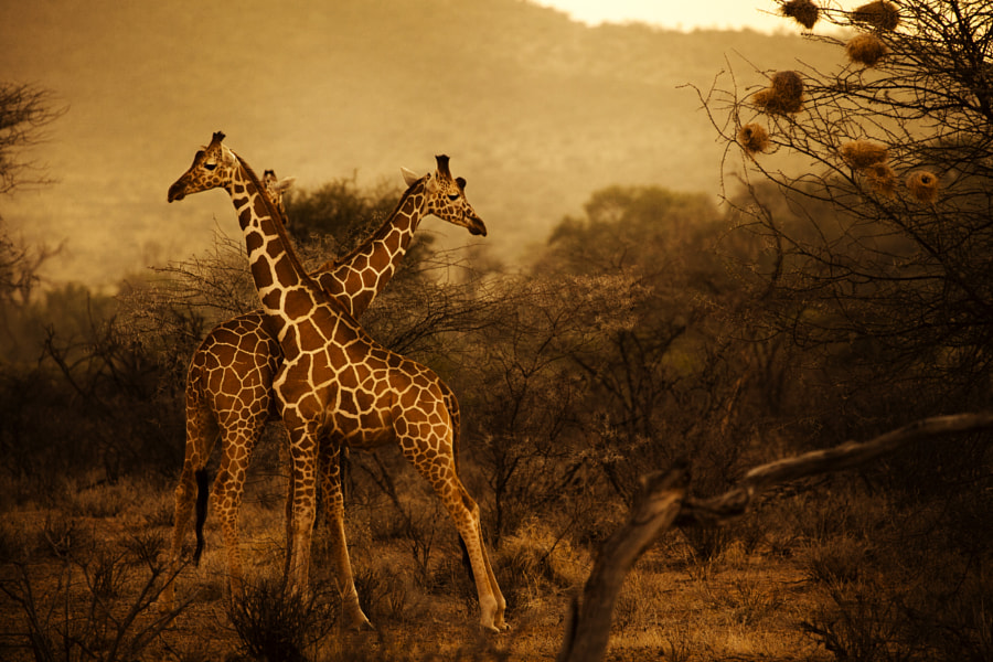 Giraffes at dawn