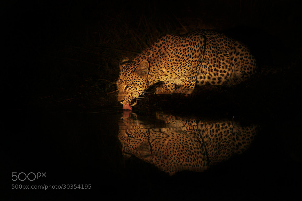 Photograph Lady Leopard Lapping by Rudi Hulshof on 500px