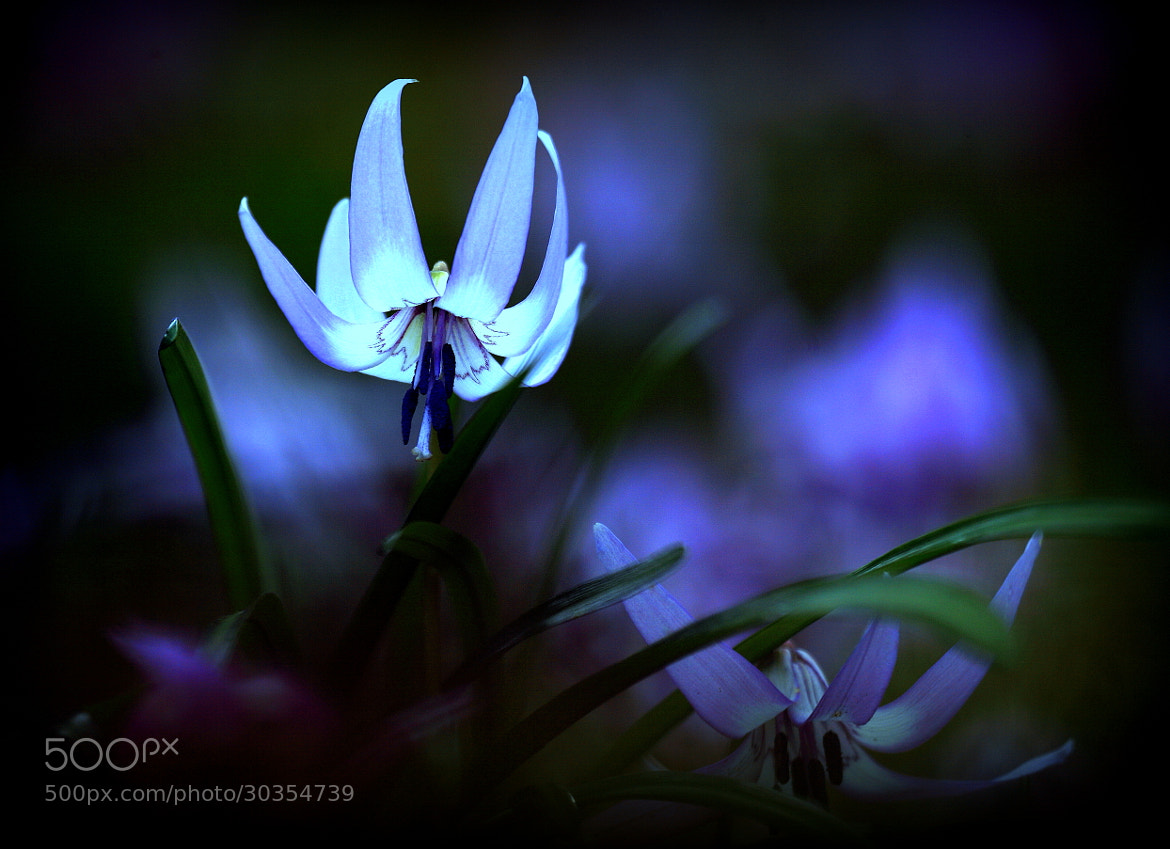 Photograph Purple Flame by yume . on 500px