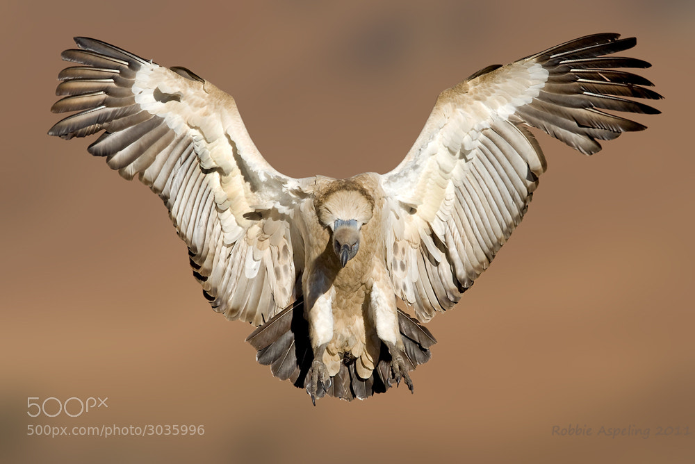Photograph Cape Griffon by Robbie Aspeling on 500px