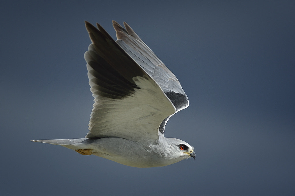 Photograph Black-shouldered Kite by Mats Brynolf on 500px