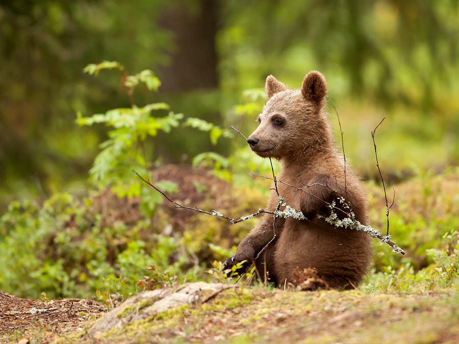 Photograph Lonely Bear Cub by Giedrius Stakauskas on 500px