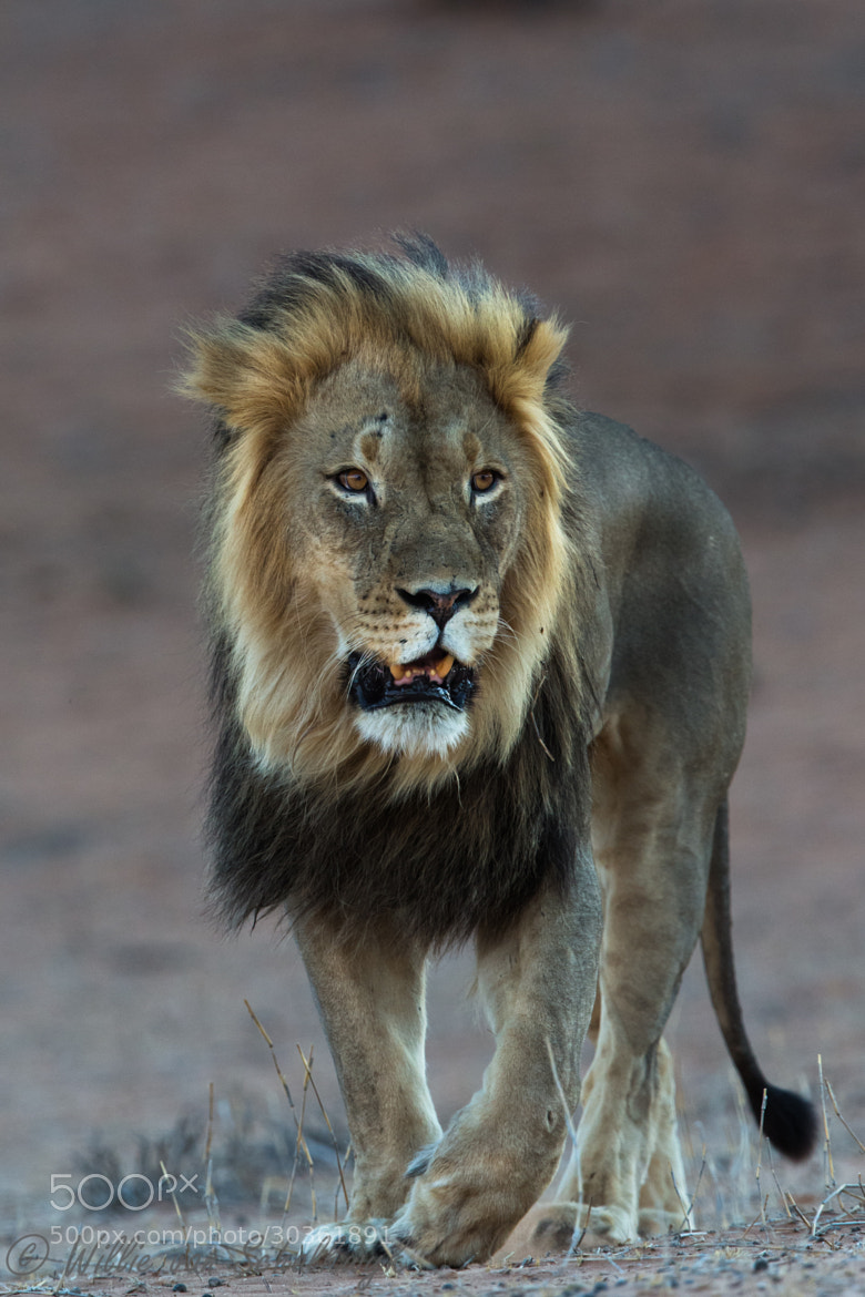Photograph Black-maned male of Monro by Willie van Schalkwyk on 500px