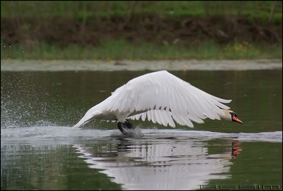 Photograph Swan by Besim Mujezinovic on 500px