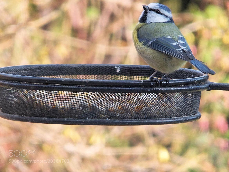 Photograph Blue Tit by Lisa Devonport on 500px