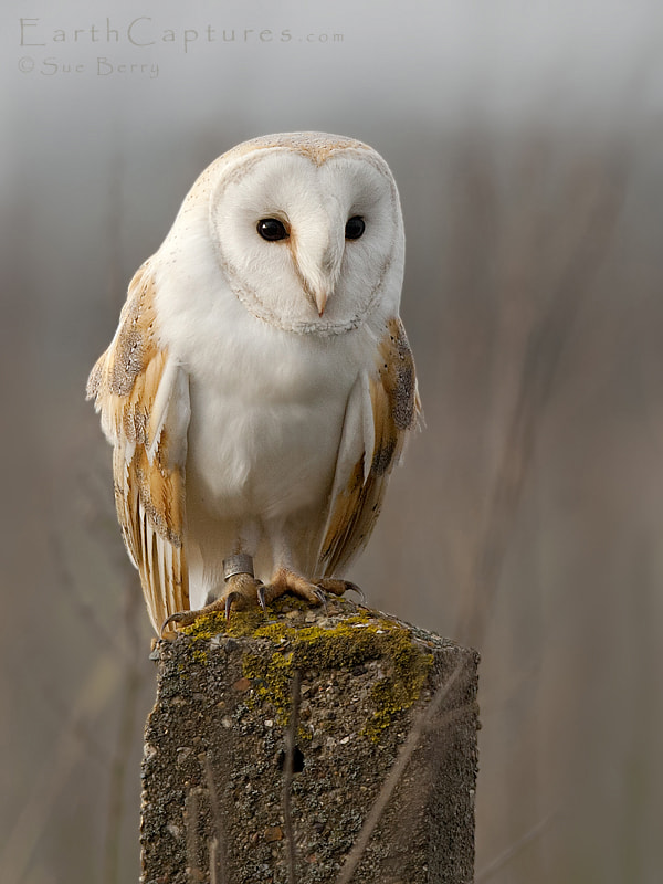 Photograph Barn Owl by Sue Berry on 500px