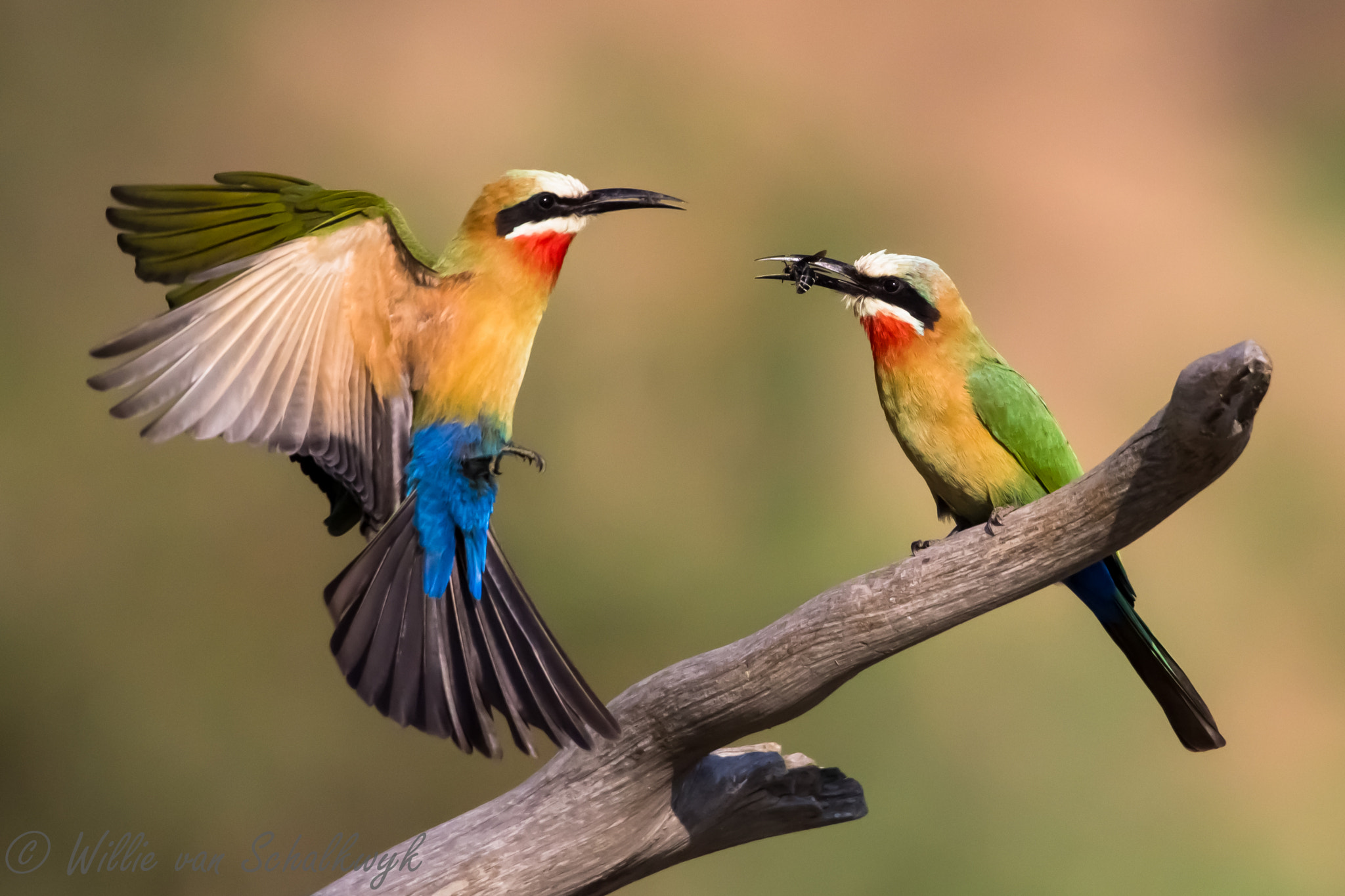 Photograph White-fronted Bee-eaters by Willie van Schalkwyk on 500px