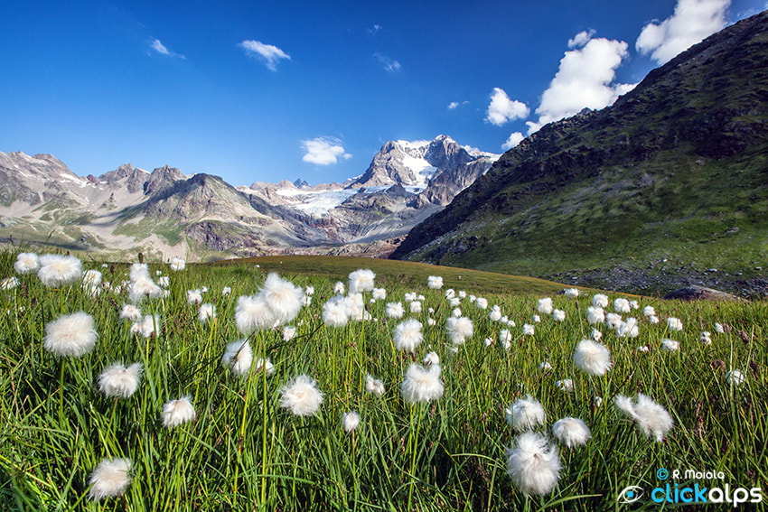 Photograph Cotton Grass by Roberto Sysa Moiola on 500px