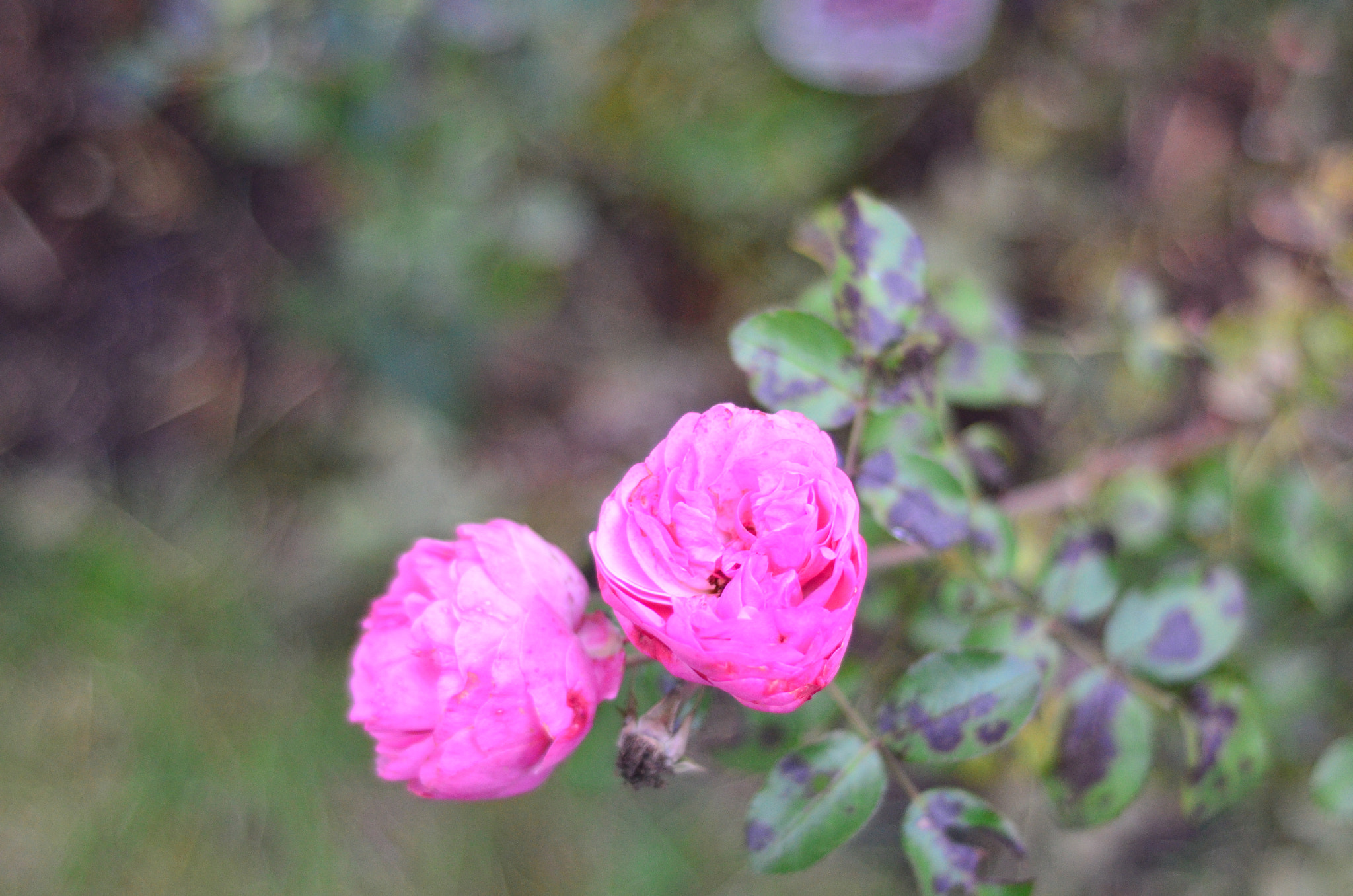 Photograph Roses by The Oal on 500px