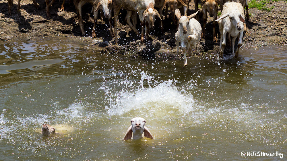 Photograph Sheep Take a Dip in the Water by Nitish Murthy on 500px