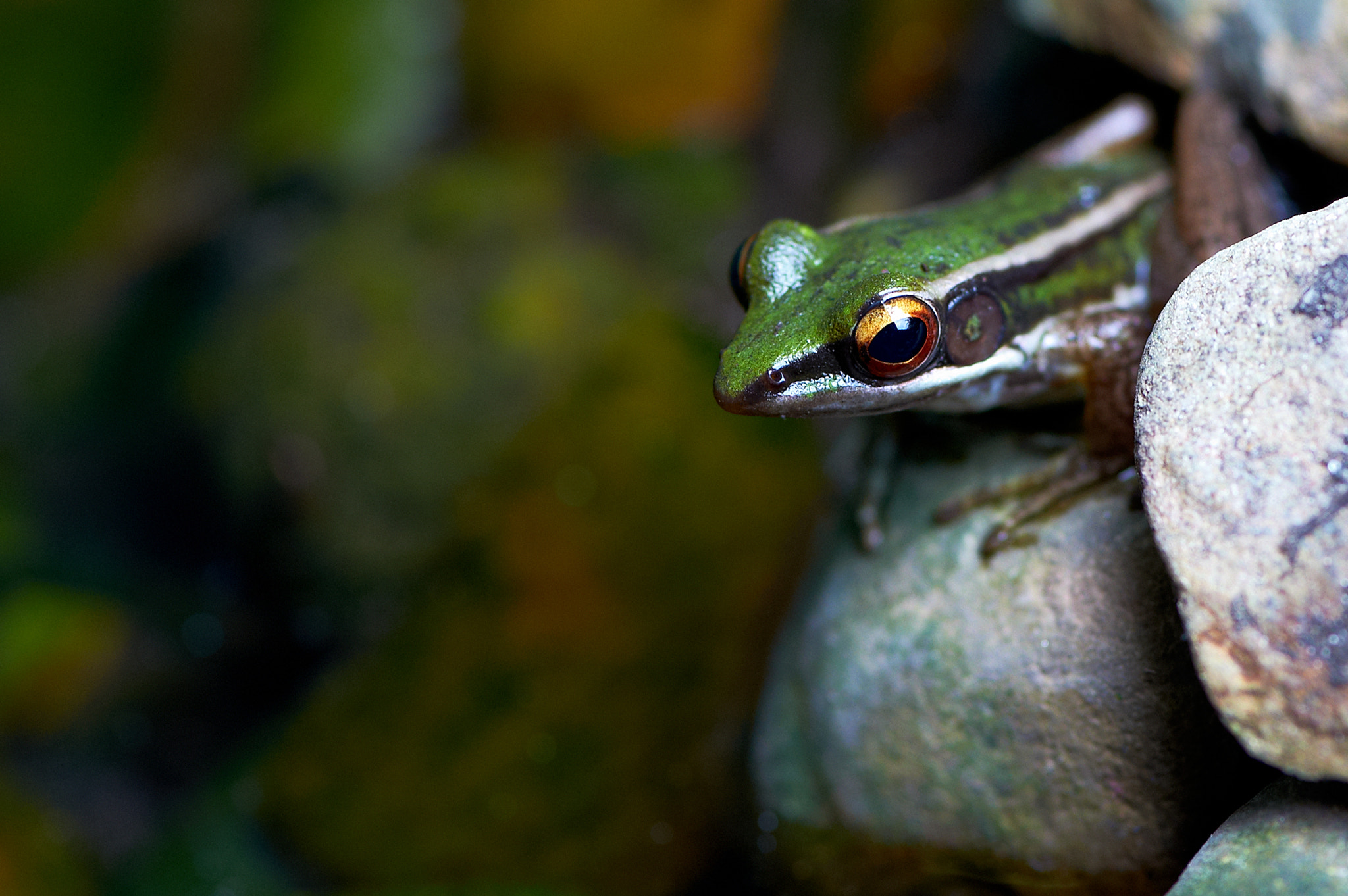 Photograph Water frog by Nik Fikri on 500px