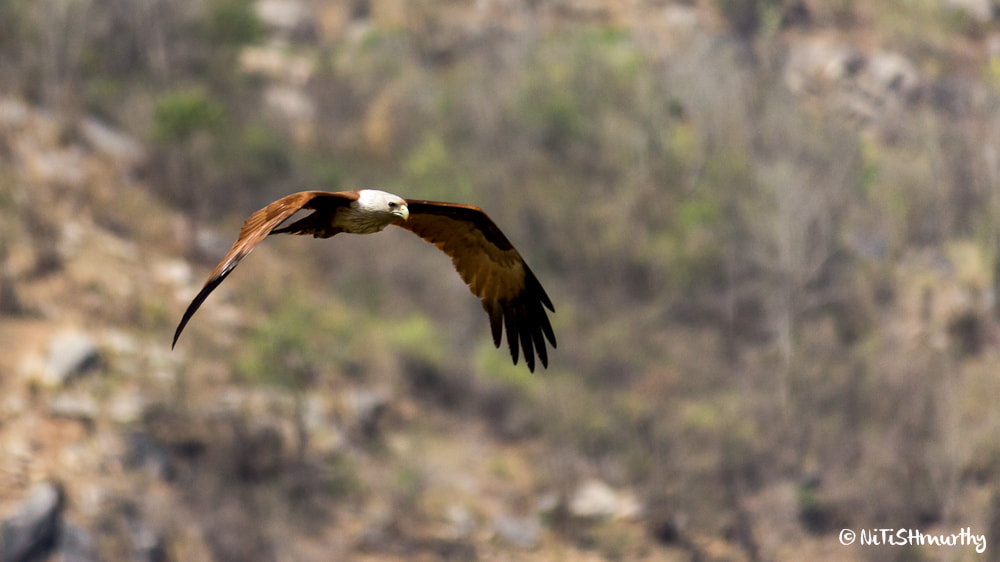 Photograph a Brahminy Kite in flight by Nitish Murthy on 500px